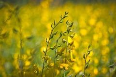 Chanvre jaune photos stock
