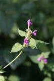 Chanvre-ortie bifide (Galeopsis bifida) Photo stock
