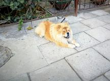 Chao-chao Hund liegt auf dem Bürgersteig Stockfoto