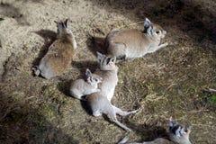 Chaoka Mara z rodziną małe ślepuszonki obraz stock