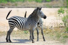 Chaomans zebra equus quagga on the open plains in Southern Africa, Zambia. Two Chapmans Zebras Equus quagga Chapmani standng looking alert on the Plains in South Stock Images