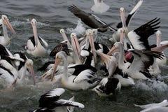 Chaos mit Pelikanen Stockbild