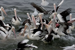 Chaos with pelicans   Stock Image