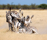 Chaotic Zebras Royalty Free Stock Images