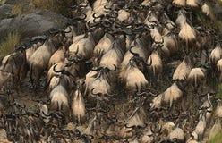 Chaotische Wildebeest die de mara rivier in Kenia kruisen Stock Afbeelding