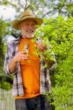 Chapéu de palha vestindo aposentado do homem que sorri após ramos do corte foto de stock