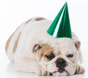 Chapéu desgastando do aniversário do cão fotografia de stock