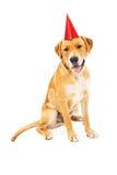 Chapéu vestindo do aniversário do cão de labrador retriever Fotos de Stock Royalty Free