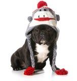 Chapéu vestindo do cão imagens de stock