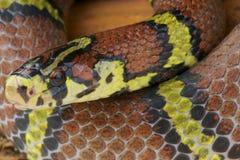 Chapa ratsnake/Archelaphe bellachapaensis Royaltyfri Foto