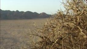Chaparal dans le désert de Sinai Égypte clips vidéos