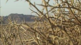 Chaparral in de Sinai woestijn Egypte stock videobeelden