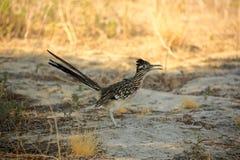 Chaparral dell'uccello del corridore di strada Fotografia Stock Libera da Diritti