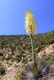 Chaparral-Yucca Hesperoyucca-whipplei, das in den Bergen, Angeles-staatlicher Wald blüht; Los Angeles County, Kalifornien lizenzfreie stockfotos