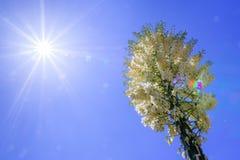 Chaparral-Yucca Hesperoyucca-whipplei, das in den Bergen, Angeles-staatlicher Wald blüht; Los Angeles County, Kalifornien lizenzfreies stockbild