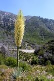 Chaparral-Yucca Hesperoyucca-whipplei, das in den Bergen, Angeles-staatlicher Wald blüht; Los Angeles County, Kalifornien lizenzfreies stockfoto