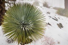 Chaparral Yucca (Hesperoyucca whipplei) growing on the slopes of Mt San Antonio, snow on the ground; Los Angeles county, stock photography