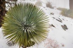 Chaparral-Yucca (Hesperoyucca-whipplei) wachsend auf den Steigungen von Mt San Antonio, Schnee aus den Grund; Los Angeles County, stockfotografie