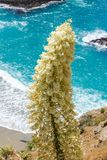 Chaparral yucca on the Pacific Coast, California royalty free stock images