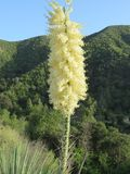 Whipple`s Yucca Flower - Angeles Natioinal Forest - California stock photography