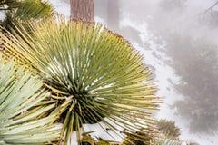 Chaparralyucca die (Hesperoyucca-whipplei) op de hellingen van MT San Antonio, sneeuw ter plaatse groeien; De provincie van Los A royalty-vrije stock afbeeldingen