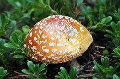 Chapeau repéré de champignon Photographie stock libre de droits