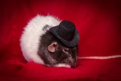 Chapeau supérieur de rat d'animal familier Photo stock
