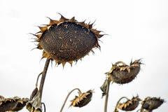 Chapeaux d'un tournesol mûr dans un domaine complètement des graines de tournesol photographie stock