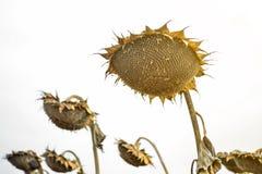 Chapeaux d'un tournesol mûr dans un domaine complètement des graines de tournesol photo stock
