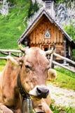 Chapelle et une vache Photographie stock