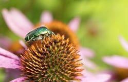 Chapfer vert clair sur une fleur d'Echinacea Photo libre de droits