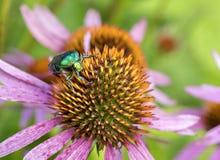 Chapfer vert clair sur une fleur d'Echinacea Photographie stock libre de droits