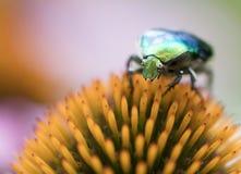 Chapfer vert clair sur une fleur d'Echinacea Photo stock