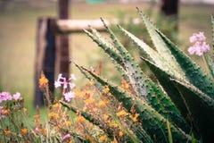 Chapiteles del áloe Foto de archivo libre de regalías