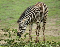 Chapman's zebra Royalty Free Stock Image