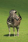 Chapman S Zebra Royalty Free Stock Photography
