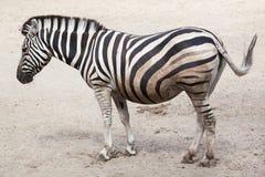 Chapman`s zebra Equus quagga chapmani. Stock Image