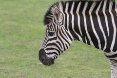 Chapman's Zebra (Equus quagga chapmani) Royalty Free Stock Image