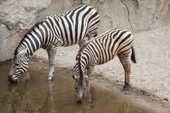 Chapman`s zebra Equus quagga chapmani.  Stock Photos