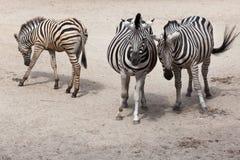 Chapman`s zebra Equus quagga chapmani.  Royalty Free Stock Photos