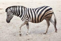 Chapman`s zebra Equus quagga chapmani.  Royalty Free Stock Photography