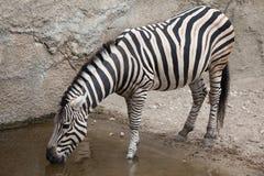 Chapman`s zebra Equus quagga chapmani.  Royalty Free Stock Image