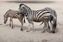 Chapman`s zebra Equus quagga chapmani.  Stock Photography