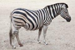 Chapman`s zebra Equus quagga chapmani. Chapman`s zebra Equus quagga chapmani Stock Images