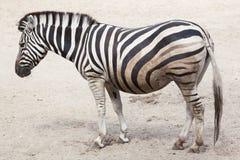 Chapman`s zebra Equus quagga chapmani. Chapman`s zebra Equus quagga chapmani Stock Photography