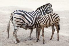 Chapman`s zebra Equus quagga chapmani. Chapman`s zebra Equus quagga chapmani feeding its foal Stock Images