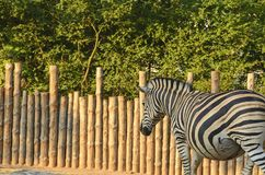 The Chapman`s zebra Equus quagga chapmani. The Chapman`s zebra Equus quagga chapmani . Zebra herbivorous mammal of the African savannah zebras live in numerous Royalty Free Stock Images