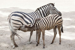 Chapman`s zebra Equus quagga chapmani. Chapman`s zebra Equus quagga chapmani feeding its foal Royalty Free Stock Image