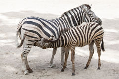 Chapman`s zebra Equus quagga chapmani. Royalty Free Stock Photo