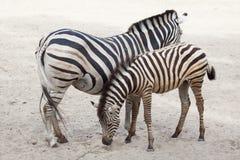 Chapman`s zebra Equus quagga chapmani. Chapman`s zebra Equus quagga chapmani feeding its foal Royalty Free Stock Images